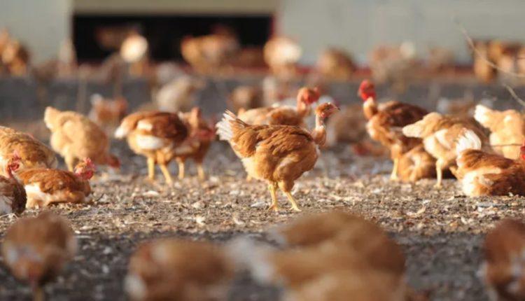 Grippe aviaire en Russie